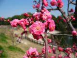 Hot pink ume blossoms at Sōri-ike