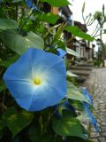 Morning glories along the canal