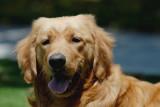 Dog-Goldy
