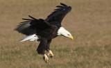 Manitoba Bald Eagle