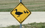 ...duck crossing...