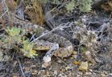Another desert critter