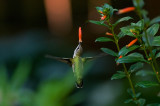 Hummingbirds feeding from Cuphea blooms