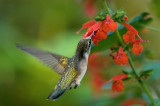 Hummingbirds and Salvias 2008