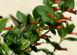 Cuphea Schumannii IMGP6593.jpg