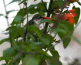 Salvia subrotunda perched IMGP0575.jpg
