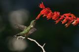Salvia Van Houtte IMGP0694.jpg