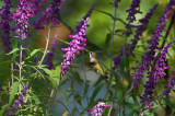 Salvia Leucantha IMGP0957.jpg