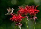 Hummingbirds and Monardas (Bee Balm) 2008
