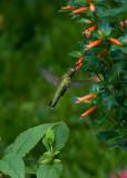 Cuphea Ignea David Verity IMGP5346.jpg