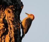 Woodpecker at Dawn