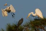 Great Egrets & Little Blue Heron