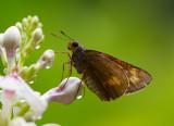 Cephrenes acalle (female) 金斑弄蝶(雌)