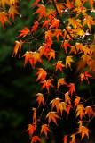 Fall Colors in Japan日本秋色