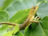 Lizard 變色樹蜥 Calotes vesicolor