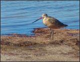 marbled godwit