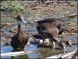 whistling ducks immature
