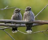 Dusky Woodswallow (just fledged)