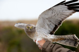 Northern Harrier, Cape May, NJ