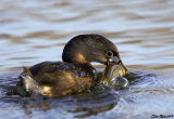 Pied Billed Grebe With Fish