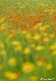 Field of Hawkweed