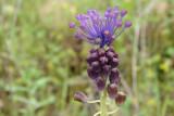 Jacinto-das-searas // Grape Hyacinth (Muscari comosum)
