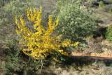 Amoreira // Mulberry (Morus sp.)