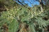 Acácia-mimosa // Mimosa (Acacia dealbata)