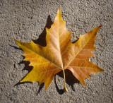 Plátano: Folha // London Plane: leaf (Platanus x hispanica)