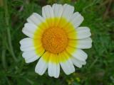 Pampilho-ordinário // Crowndaisy (Chrysanthemum coronarium)