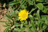 Pampilho-marítimo // Mediterranean Beach Daisy (Asteriscus maritimus)
