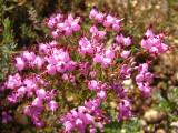 Queiró ou Torga (Erica umbellata)