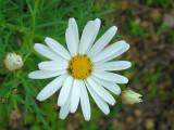 Margaça-de-Inverno // Dusky Dogfennel (Chamaemelum fuscatum)