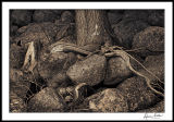 Roots and Rocks