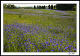 Field of Blue (cornflowers)
