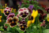 1542DSC04535.jpg just found!  i like this pansy and image