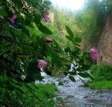 Roughlock Roses