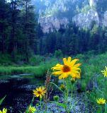 Rim Rock Sunflower