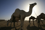 Timmimoun Camels.
