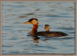 Red Necked Grebe cute family