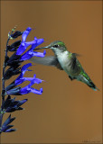 Ruby Throated HB at the Salvia flower
