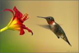 My favorite Hummingbird shot!  ( ;
