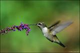 Ruby Throated Hummingbird tasting the nectar.