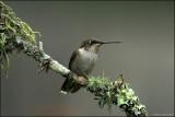 Juvenile Hummingbird taking a break on a Lichen covered branch