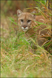 Cougar prowling