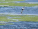 Guifette noire - Black Tern