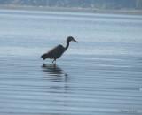 Grand Héron (contre-jour) Goose Spit, B.C. - Great Blue Heron (against the light)