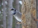 Geai bleu -  Blue Jay