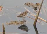 Bécasseau minuscule - Least Sandpiper