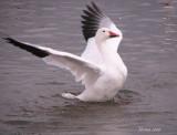Oie des neiges - Snow Goose